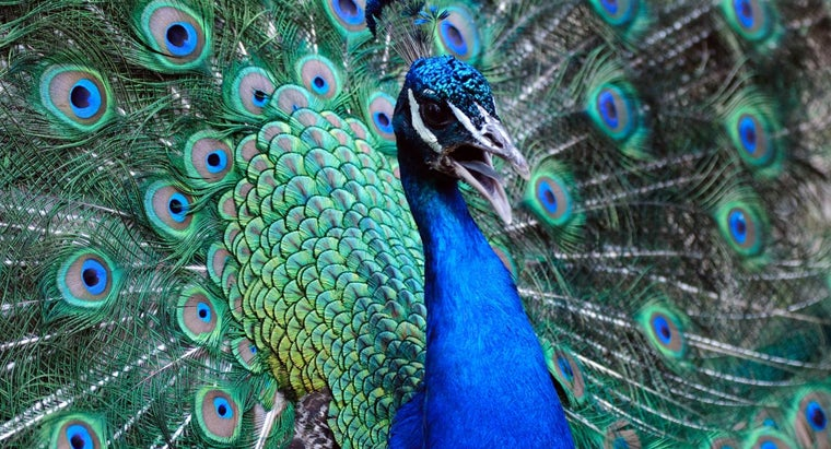 interesting-peacocks