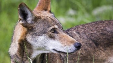 What Are Some Interesting Facts About Red Wolves?