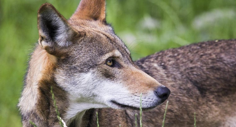interesting-red-wolves