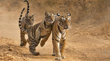 What Are Some Interesting Facts About Tigers?