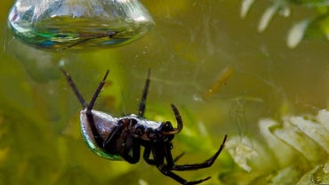 What Are Some Interesting Facts About Water Spiders?