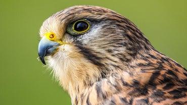 "What Is the Irony in ""Federigo's Falcon?"""