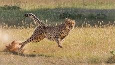 Is an Ostrich Faster Than a Cheetah?