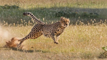 Is an Ostrich Faster Than a Cheetah?
