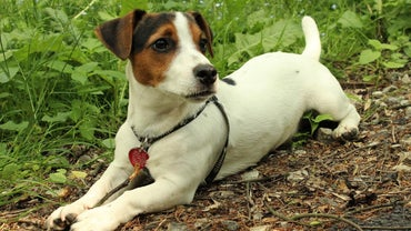 Do Jack Russell Terriers Shed?