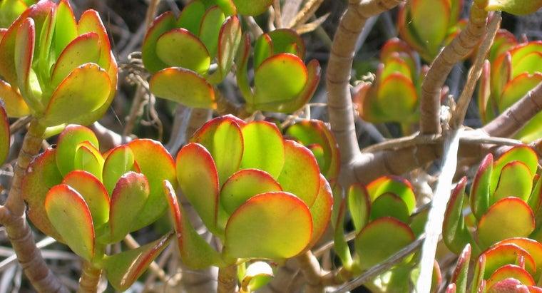 jade-plants-toxic-cats