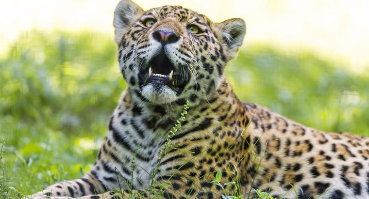 jaguar-endangered