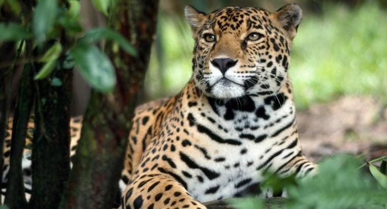 jaguar-protect-itself