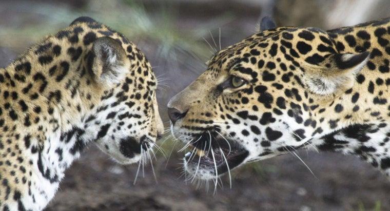 jaguars-communicate