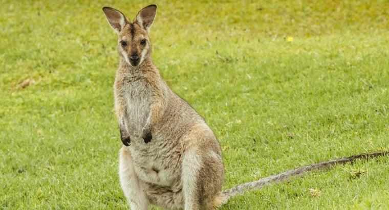 kangaroo-s-food-chain