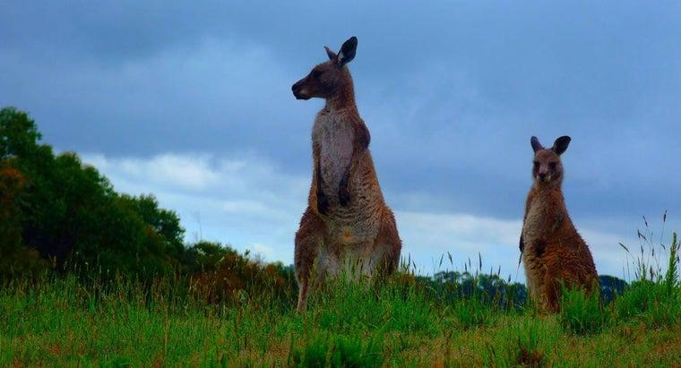 kangaroos-live-australia