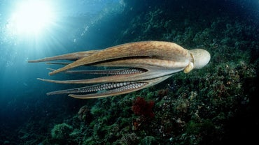 What Are the Key Similarities and Differences Between a Squid and an Octopus?