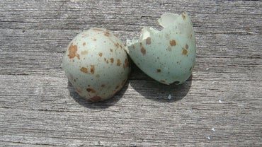 What Kind of Bird Has Blue Eggs?