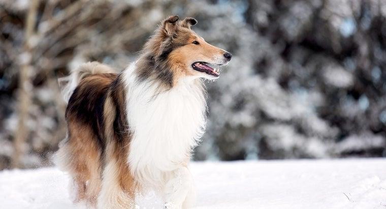 kind-dog-lassie