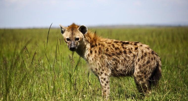 kind-food-hyenas-eat