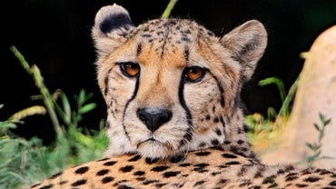 What Kind of Habitat Does a Cheetah Live In?