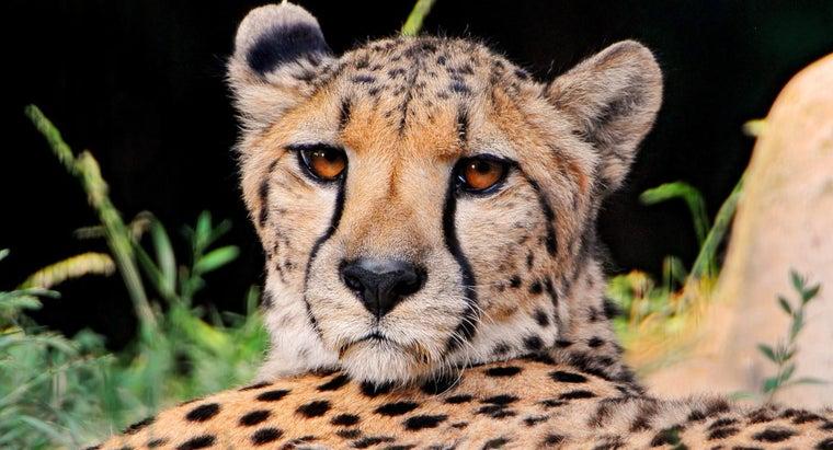 kind-habitat-cheetah-live