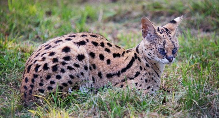 kind-pet-serval