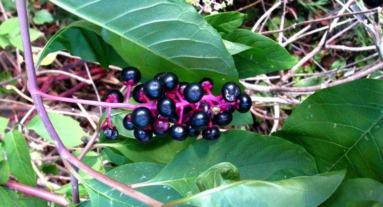 kind-plant-purple-berries