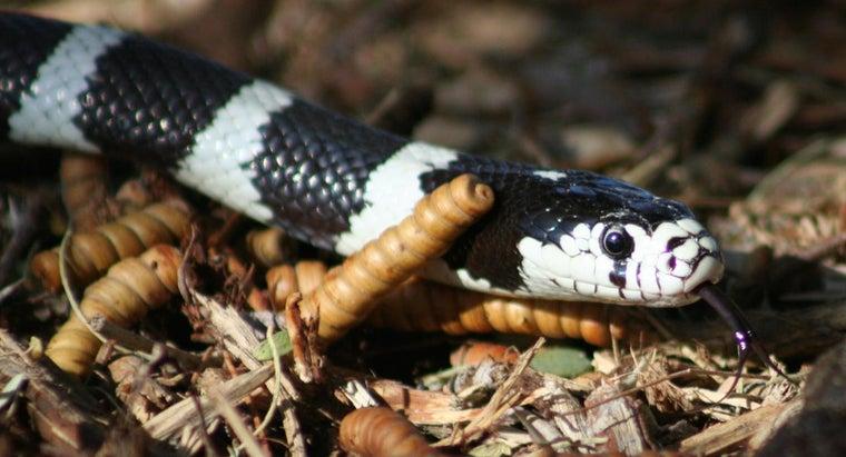 kind-snake-black-white