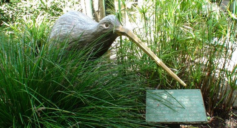 kiwi-birds-eat