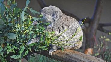 What Does a Koala Bear Eat?