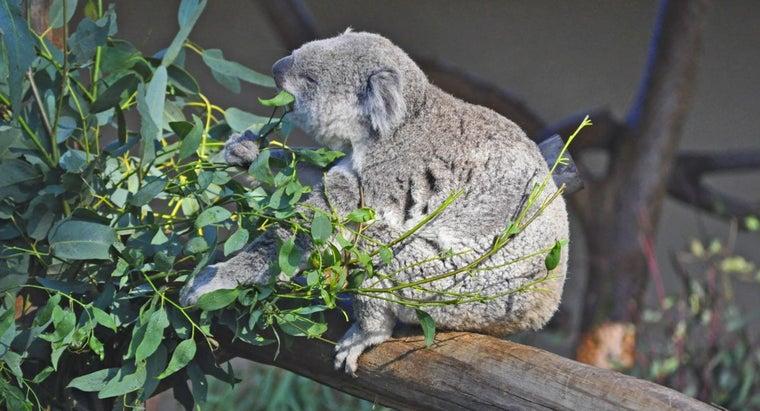 koala-bear-eat
