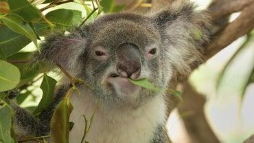 What Does a Koala Eat?