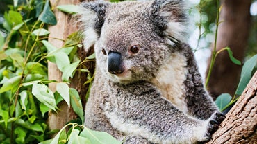 Why Are Koalas Endangered?