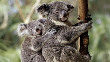 Where Are Koalas on the Food Chain?