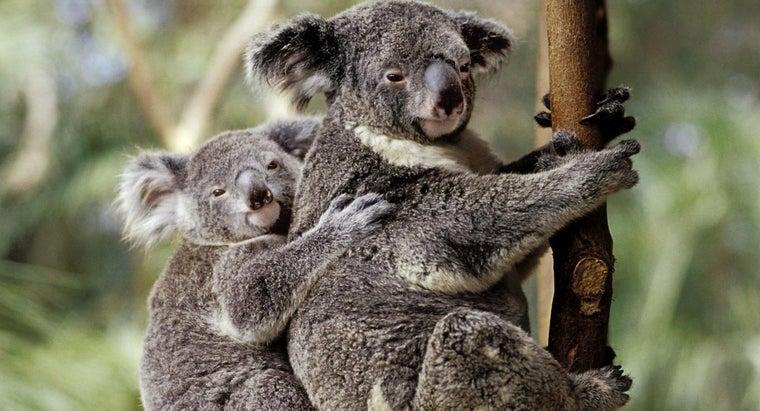 koalas-food-chain
