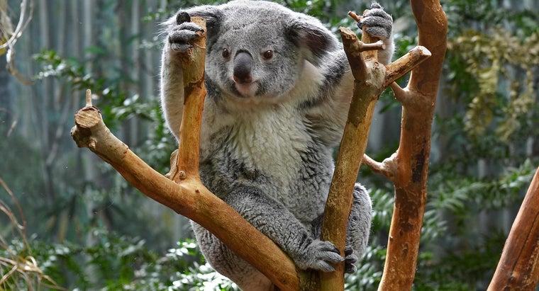 koalas-tail