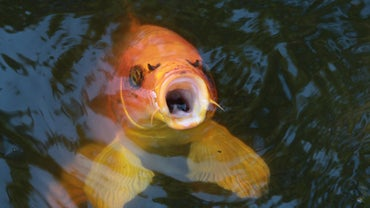 Are Koi Fish Edible?