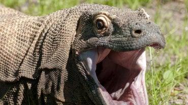What Are Komodo Dragons' Adaptations?
