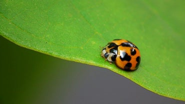 What Are Ladybug Adaptations?