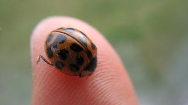 Do Ladybugs Bite People?