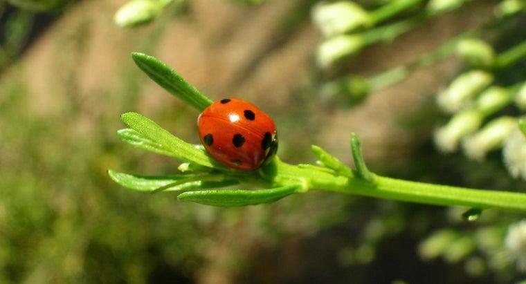 ladybugs-harmful-pets-children