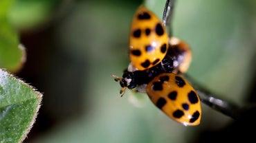 Do Ladybugs Migrate?