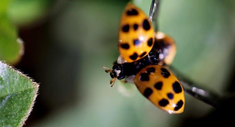 ladybugs-migrate