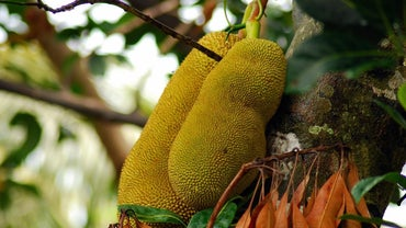 What Is the Largest Fruit in the World?