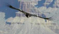 What Is the Largest Living Flying Bird?