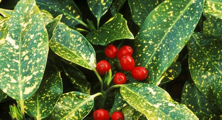 laurel-berries-poisonous