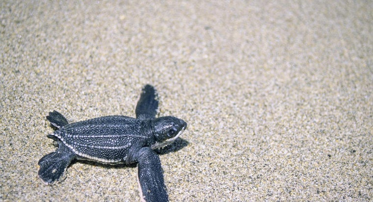 leatherback-turtles-eat