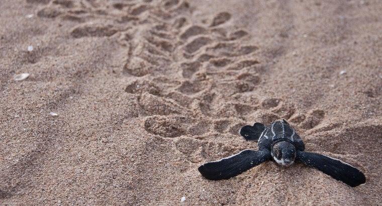 leatherback-turtles-live