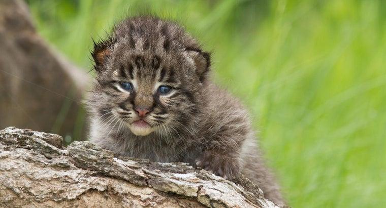 legal-keep-bobcats-pets