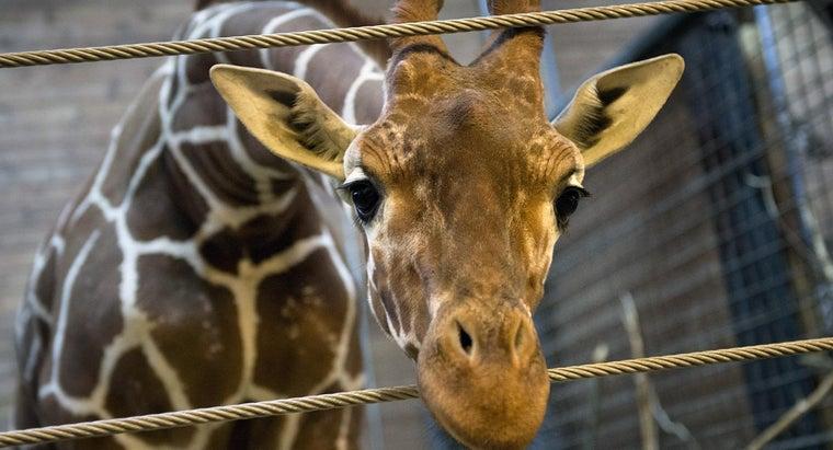 legal-pet-giraffe-united-states