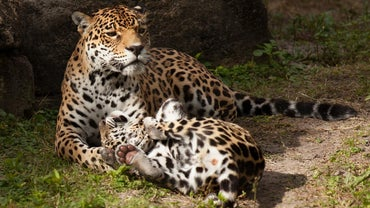 How Do Leopards Care for Their Young?