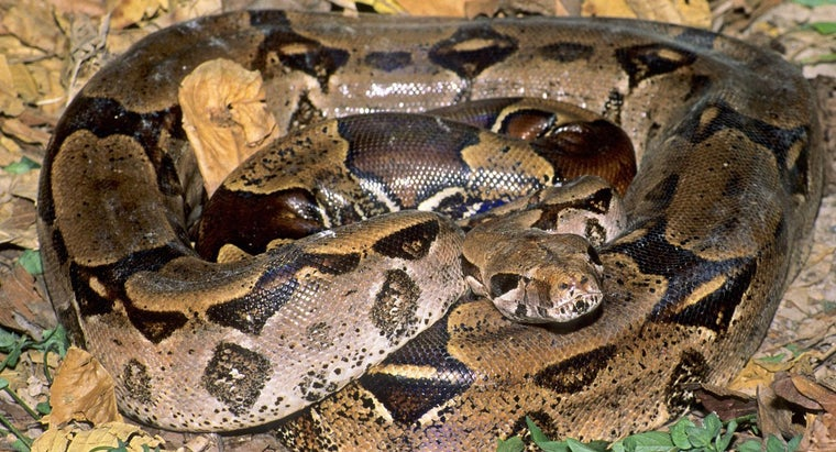 life-cycle-boa-constrictor