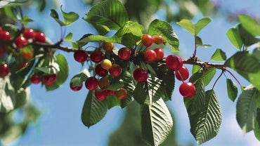 What Is the Life Cycle of a Cherry Tree?