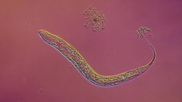 What Is the Life Cycle of a Tapeworm?